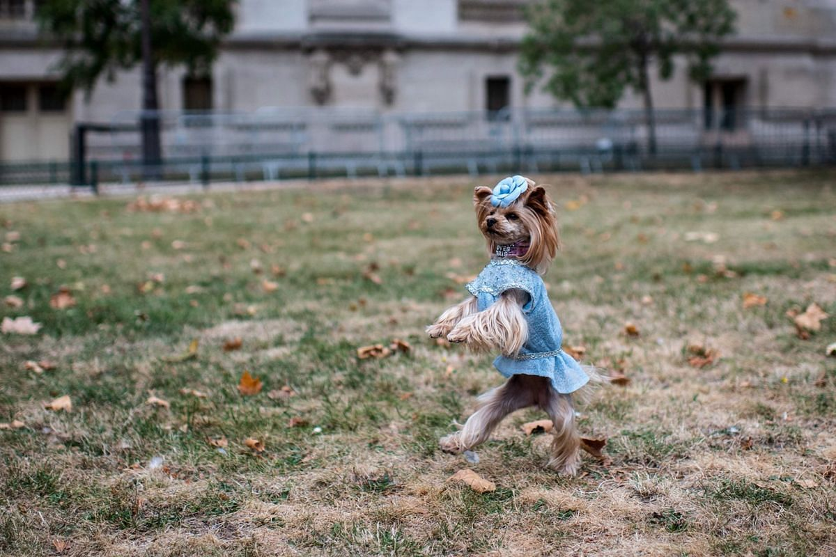 A dog wearing a dress is seen prior to the Chanel Spring-Summer 2019 Ready-to-Wear collection fashion show at the Grand Palais in Paris, on October 2, 2018.