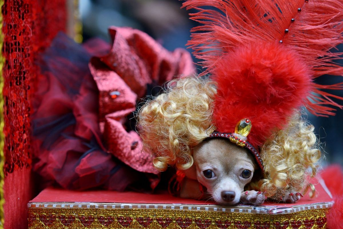 A Chihuahua puppy dressed like a Moulin Rouge dancer rests during an activity for World Animal Day at Eastwood Mall, Quezon City, Metro Manila, Philippines October 7, 2018. PHOTO: REUTERS