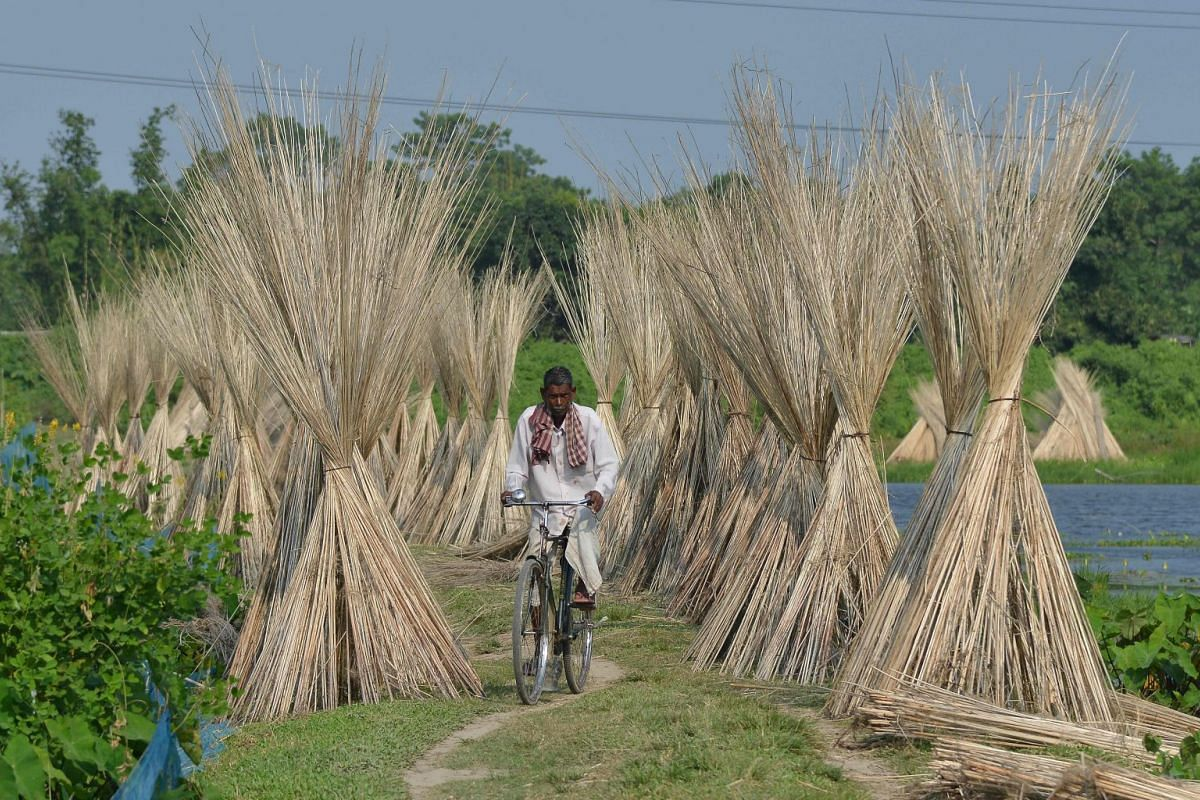 An villager rides his bicycle past jute sticks, a fibre that can be spun into coarse strong threads, at Dolapani village in Sonitpur district, India.