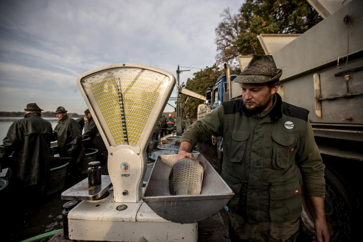 A fisherman weighs a fish during the traditional carp haul at Velky Tisy pond near Trebon, Czech Republic, on Oct 15, 2018.