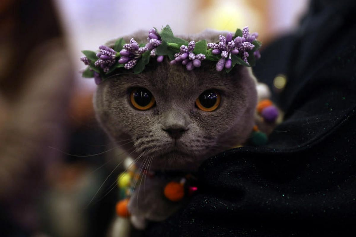 "A cat is presented during ""the ""3rd International Pursaklar Cat Beauty Fest"", on Oct 14, 2018 in Ankara, Turkey. PHOTO: AFP"