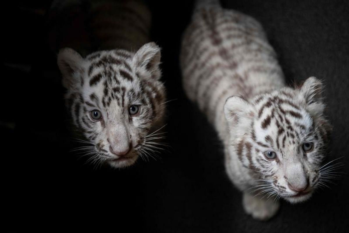 Picture of two newborn white Bengal tiger cubs in Yunnan Wildlife Zoo in Kunming, Southern China.  These playful tiger cubs are charming tourists as they clamber around the enclosure, days into making their first public appearance. PHOTO: AFP