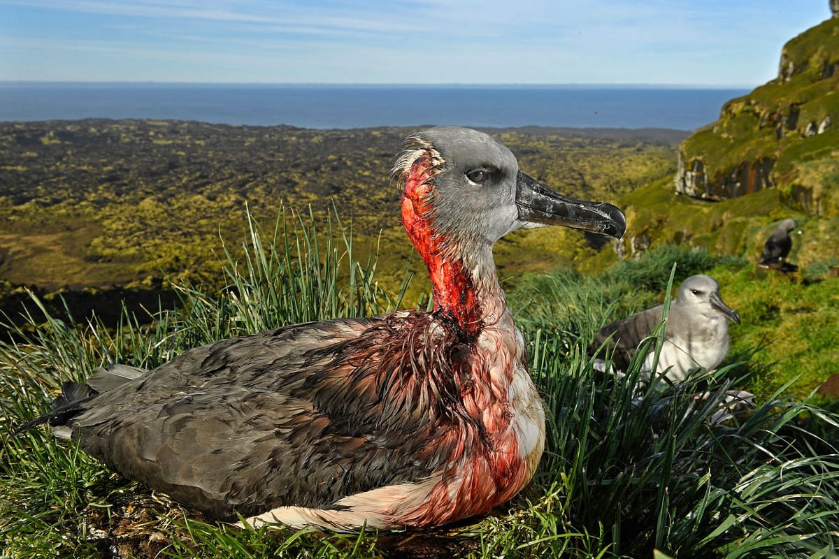 A juvenile grey-headed albatross on Marion Island, South African Antarctic Territory, is left injured after an attack by mice from an invasive species that has begun to feed on albatross chicks and juveniles. Mice were introduced to the island by sea