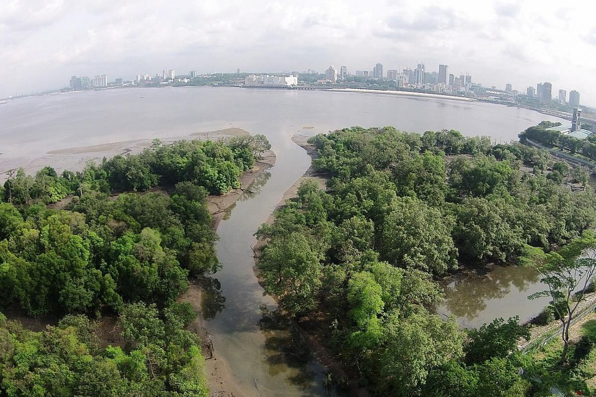 The Mandai Mangrove and Mudflat (above) is to be designated a nature park. Singapore's trees store 4.1 million tonnes of carbon, and are able to sequester around 17,500 more tonnes of carbon per year.
