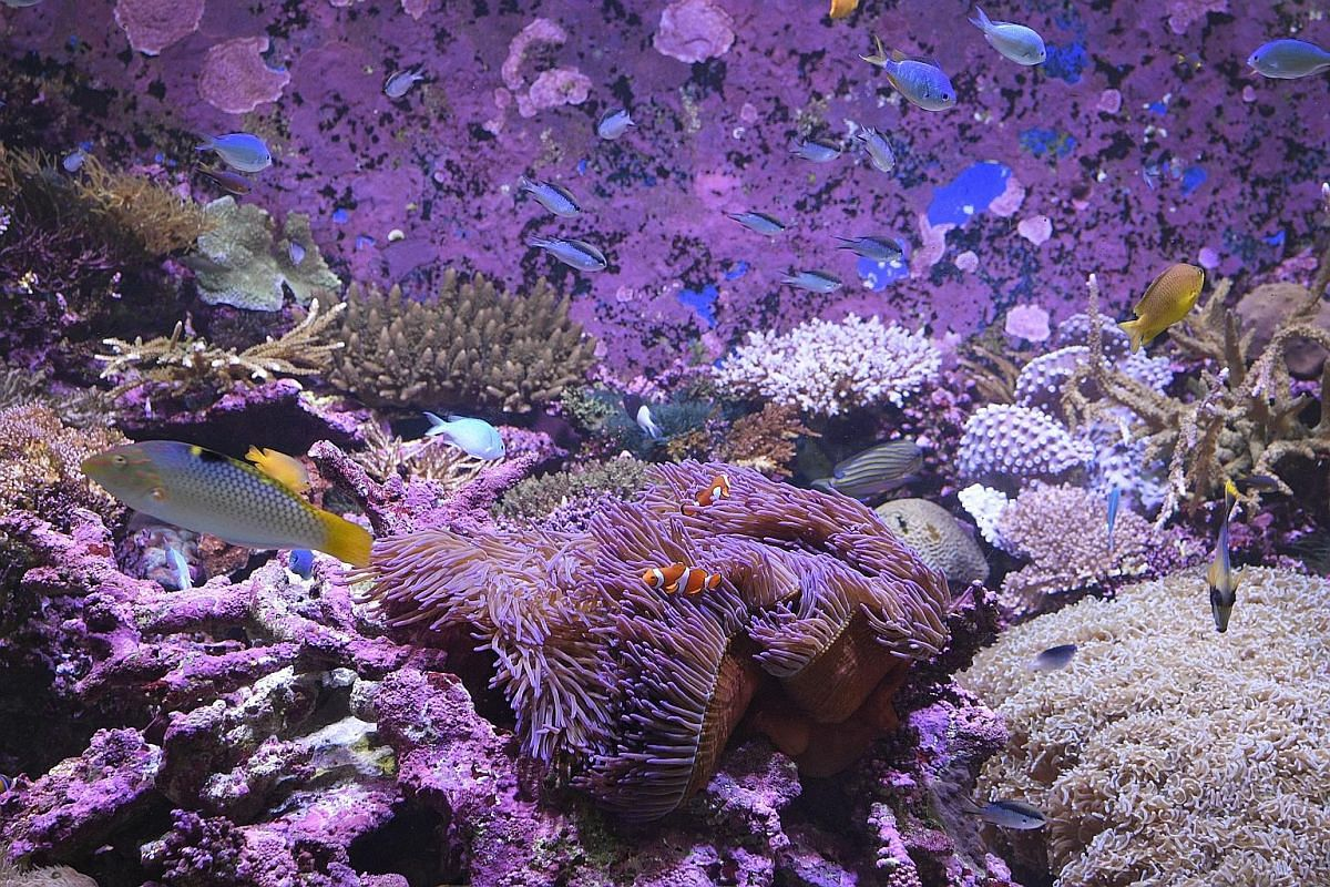 Top: A tank showing a healthy coral reef ecosystem at the Australian Institute of Marine Science. Above: Mostly dead plate coral on a reef off Port Douglas in Queensland.