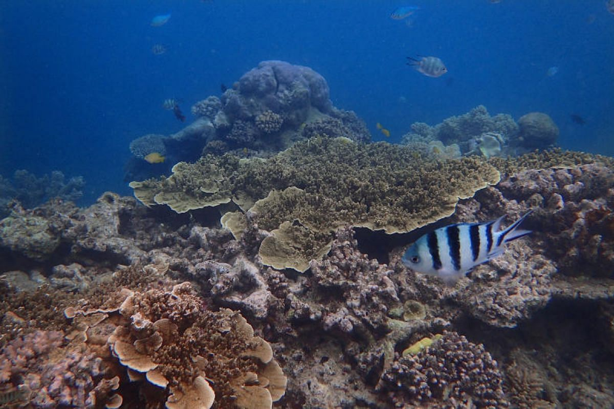 A sergeant major damsel fish (right) swims over a mix of dead and live coral out at the Moore Reef, on the outskirts of Cairns, Australia, on May 8, 2018.