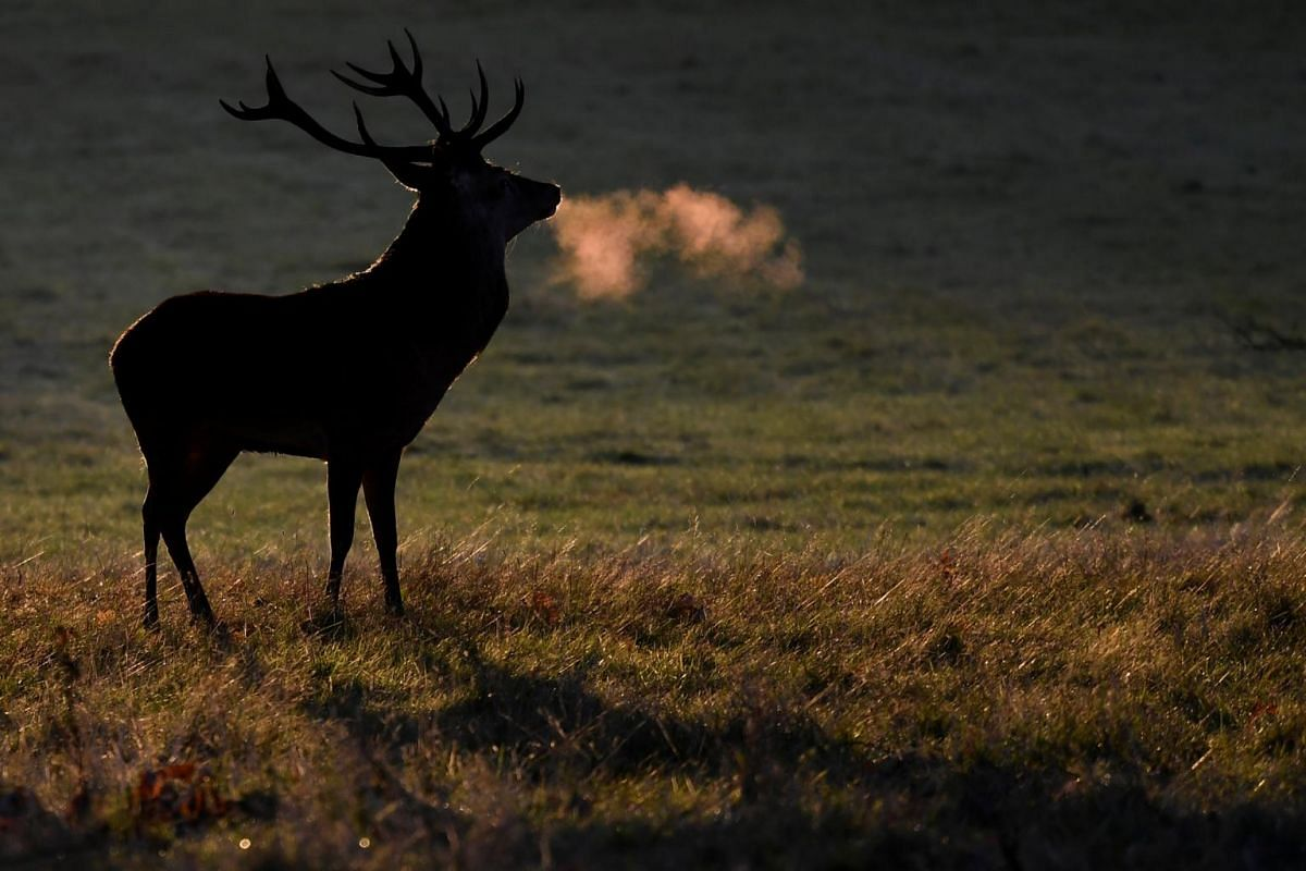 A deer stag is seen barking in the early morning autumn sunshine at Richmond Park in London, Britain, on Oct 7, 2018.
