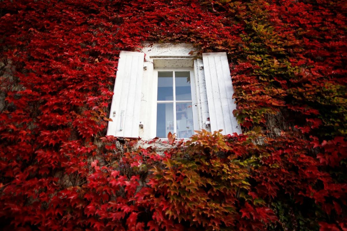 A house covered with Virginia creeper is seen on an autumn day in Chateau-Thebaud, near Nantes, France, on Oct 23, 2018.