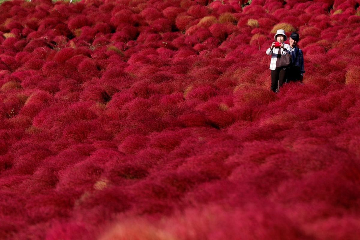 A couple takes a picture in a field of fireweed, or Kochia scoparia, at the Hitachi Seaside Park in Hitachinaka, Japan, on Oct 22, 2018.