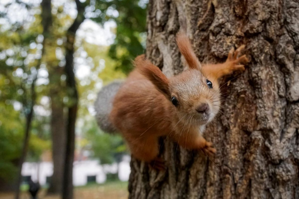 A squirrel clambers on a tree at a park in autumn foliage in Almaty, Kazakhstan, on Oct 15, 2018.