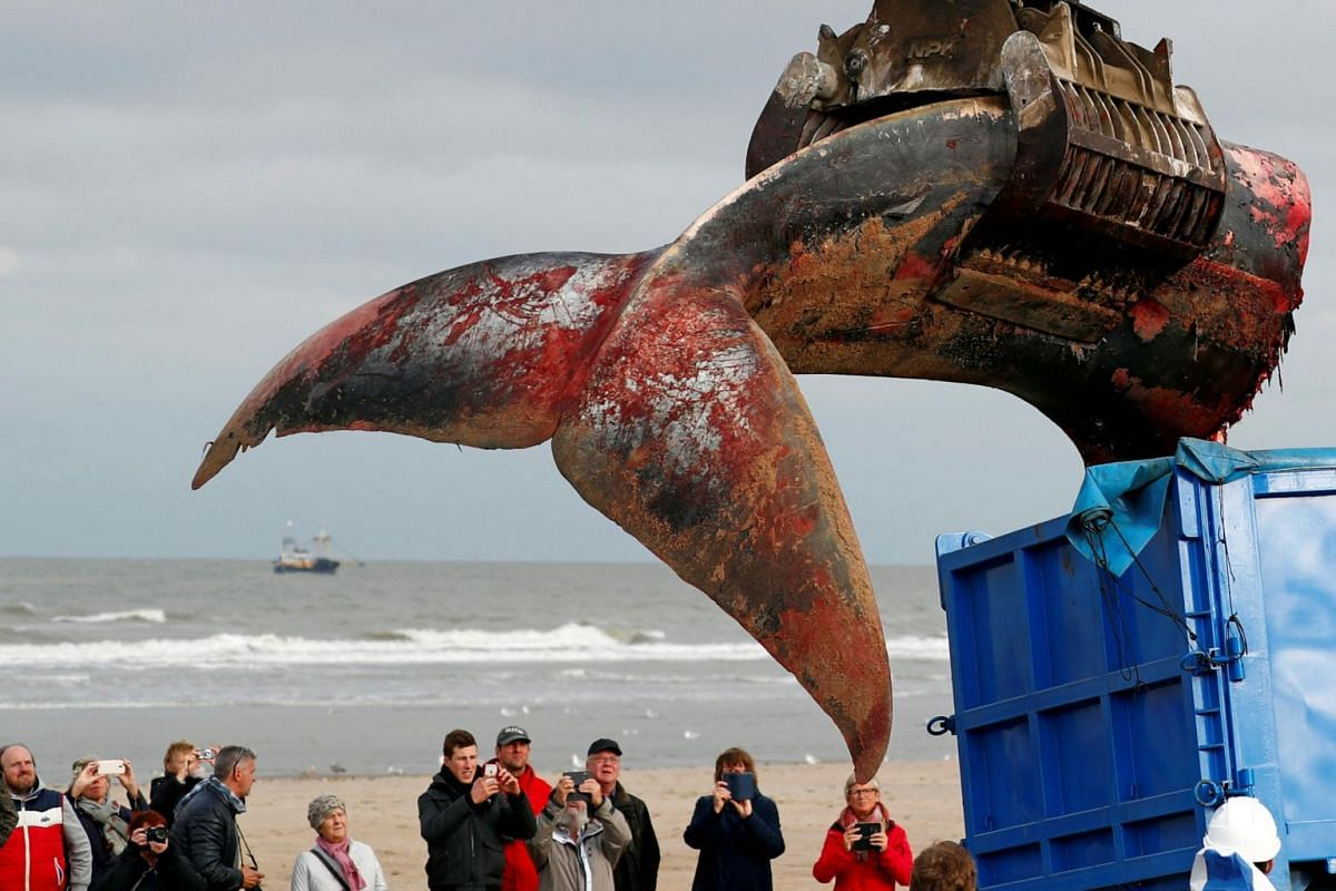 The tail of a stranded whale is removed from the beach of De Haan, Belgium, on Oct 25, 2018.