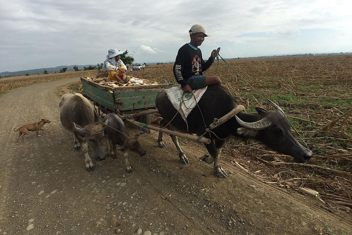 Left: A farmer and his son transporting harvested corn using a cart drawn by a water buffalo in Alcala. Above: Corn cobs are scattered across Alcala's farmlands in the aftermath of Mangkhut, forcing men, women and children to search among dead vegeta