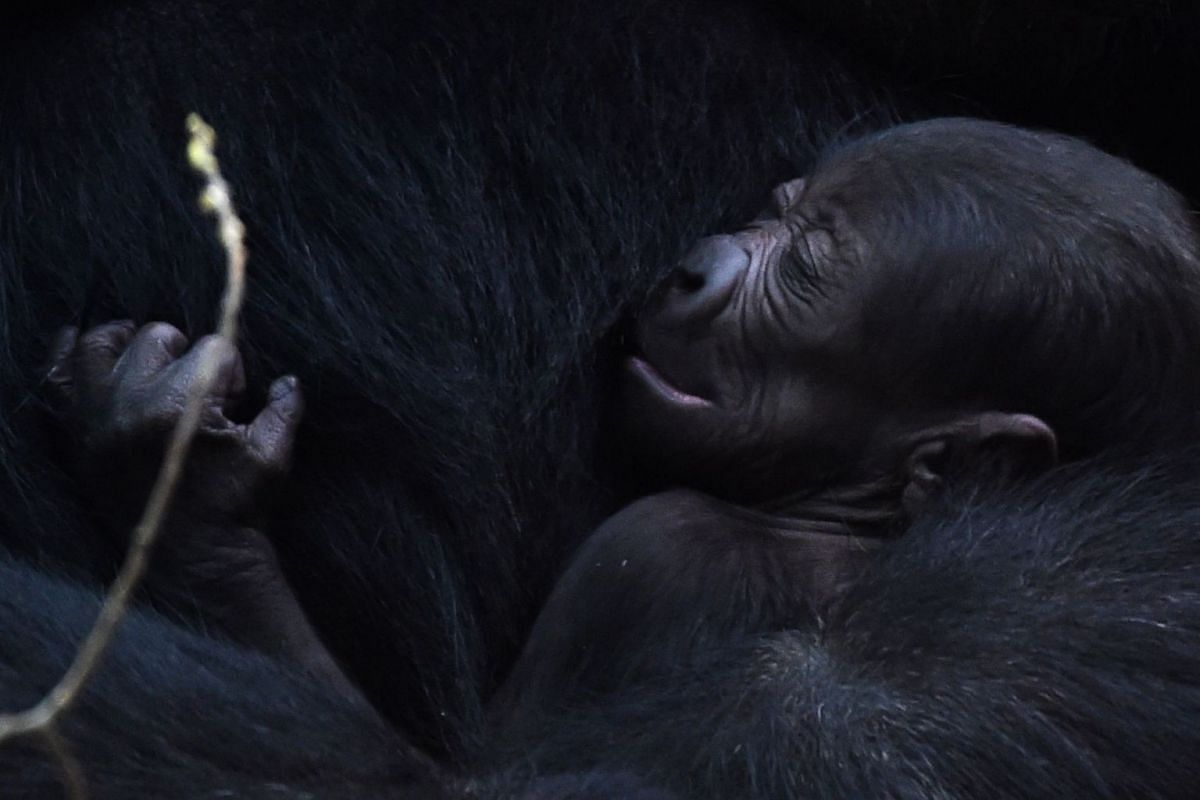 A newborn gorilla rests in its mother's arms at ZooParc de Beauval in Saint-Aignan, Central France, on Oct 29, 2018.