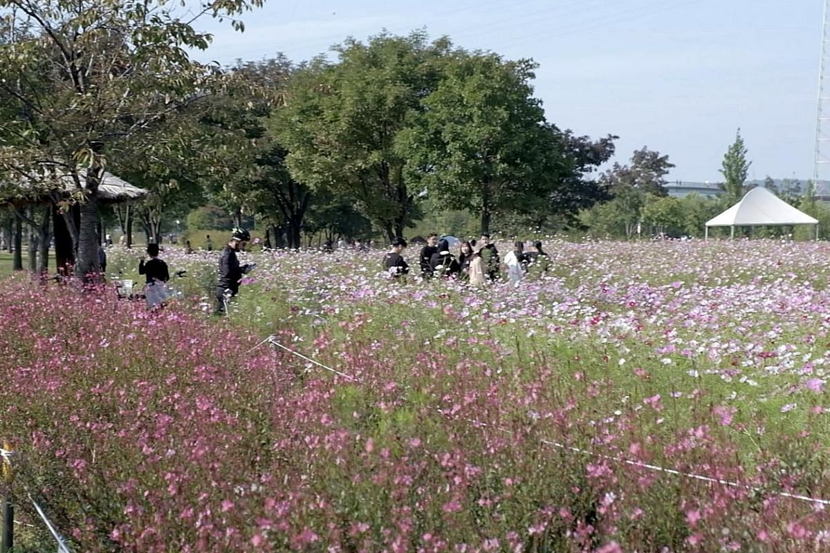Cyclists or joggers in Yeouido Hangang Park often make pit stops at fields of flowers for pictures. Besides cycling (left), you can also set up tents and camp (above) at Yeouido Hangang Park. Visitors in hanbok, the traditional Korean dress, pose for