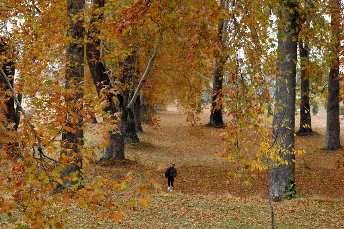 A Kashmiri man walking through a stand of chinar, or sycamore, trees in Nishat Garden, on the outskirts of Srinagar, the summer capital of Indian Kashmir, on Nov 8, 2018.