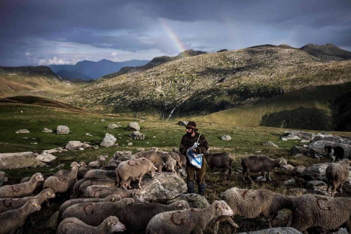French shepherd Gaetan Meme, 24-years-old, lays salt along a route to guide sheep towards a precise area for grazing, along the Alpine pastures in the mountains near the Col du Glandon, in the French Alps. Gaetan shepherds a flock of 1,300 sheep in t