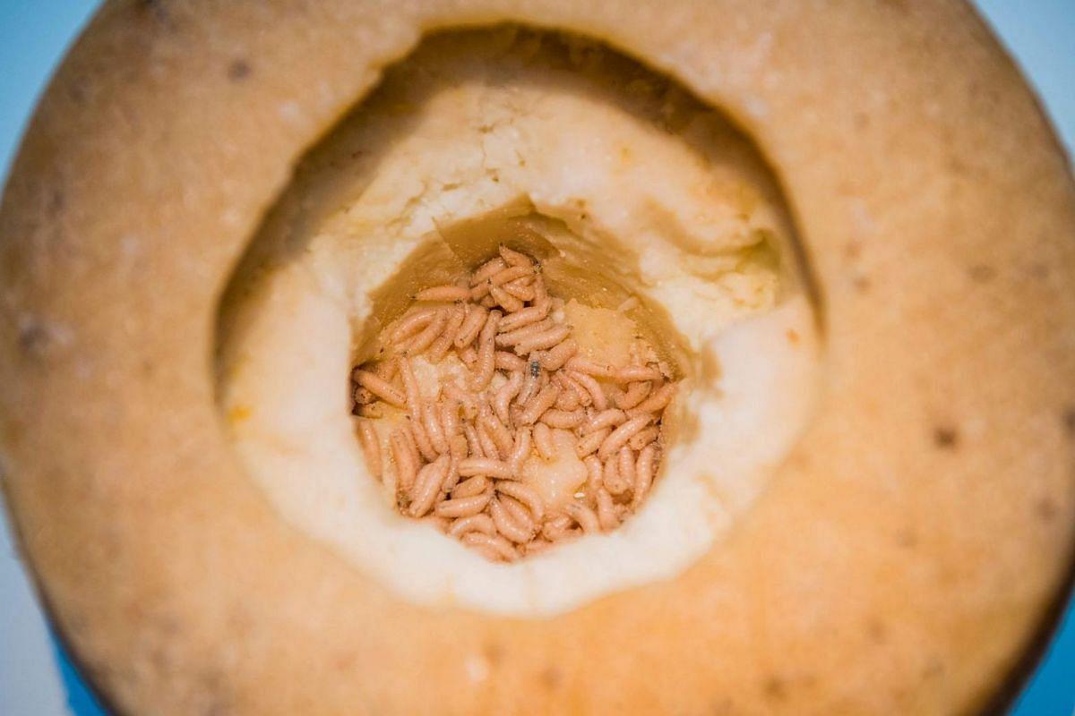 Maggot-infested Casu Marzu cheese from Sardinia, Italy.