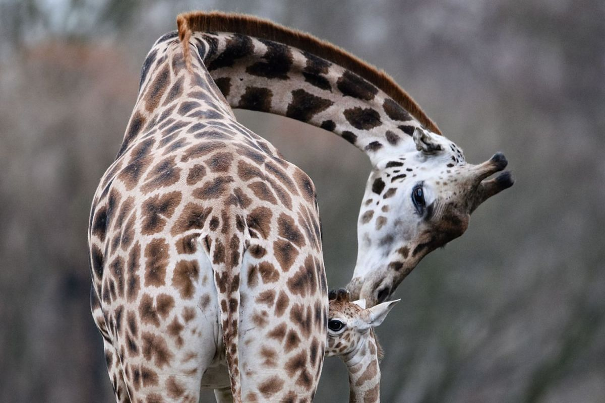 Giraffe cub Ella (R) stands next to her mother Amalka as she walks for the first time in the outdoor enclosure of the Tierpark in Berlin, Germany, 20 November 2018. PHOTO: EPA-EFE