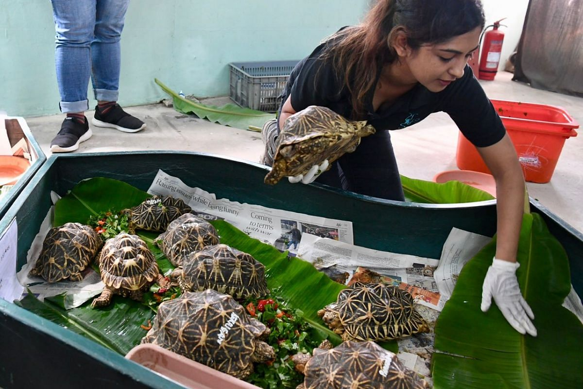 About 50 Indian star tortoises from the illegal wildlife trade in Singapore will be repatriated to the wild in India, reversing the whole process of the poaching, smuggling and illegal possession. Here the tortoises are being loaded into crates at AC