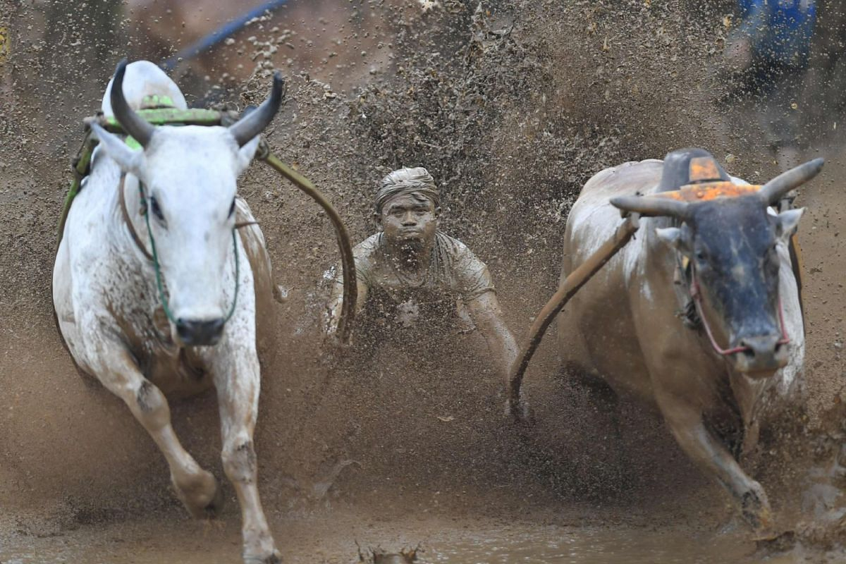 "An Indonesian jockey rides two bulls with a cart during a traditional sport bull race locally called ""pacu jawi"" in Pariangan of Tanah Datar regency in West Sumatra on December 1, 2018. PHOTO; AFP"