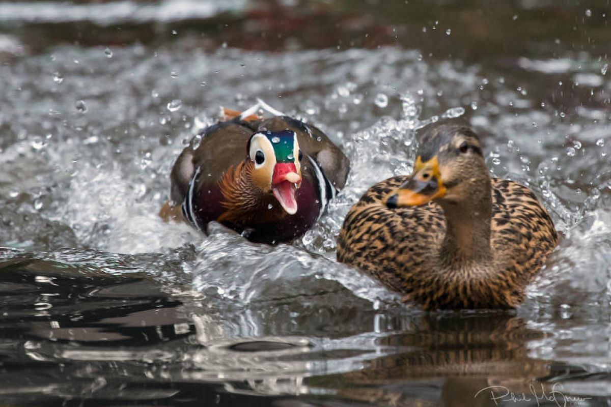 An undated handout photo released on Dec 4, 2018 shows a Mandarin duck nipping at a mallard in the Central Park Pond in New York. It is still unknown how exactly the duck, native to East Asia, reached Central Park. PHOTO: PHIL MCGREW VIA THE NEW YORK