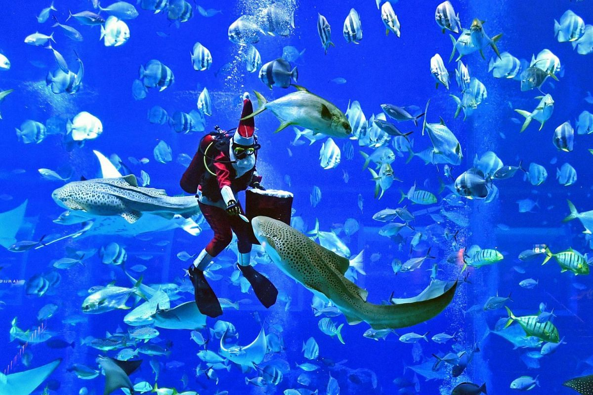 """It's a merry Christmas as """"Santa Claus"""" goes underwater to feed the fishes in the Open Ocean Habitat at South-east Asia's First Glowing Ocean  at S.E.A. Aquarium, Resorts World Sentosa, December 4, 2018. PHOTO: THE STRAITS TIMES/CHONG JUN LIA"""