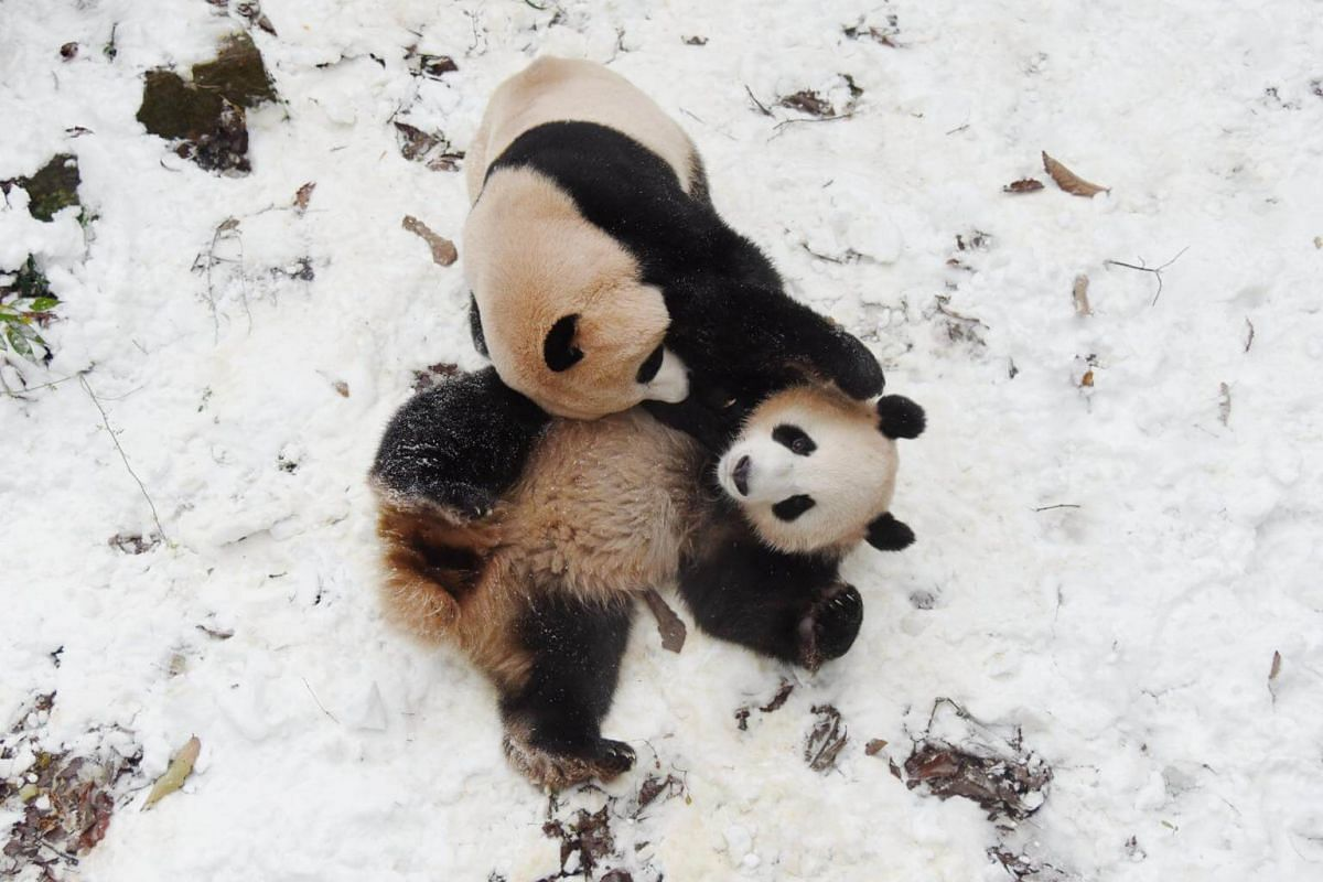 Giant pandas Chengjiu and Shuanghao play in the snow at a zoo in Hangzhou, China, on Dec 9, 2018.