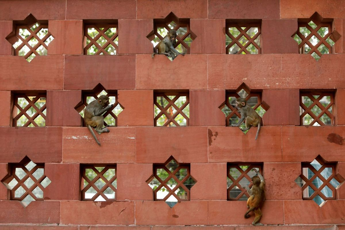Baby monkeys play on a wall of India's Parliament premises in New Delhi, India, November 15, 2018.