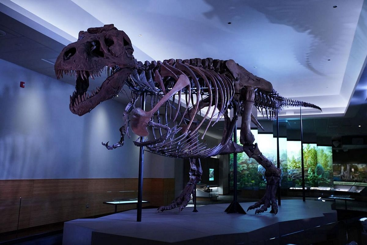 The Tyrannosaurus rex dubbed Sue, the largest and best-preserved example of this well-known meat-eating dinosaur, is pictured in its new exhibition suite at the Field Museum in Chicago, Illinois, US, in this photo released on Dec 18, 2018.