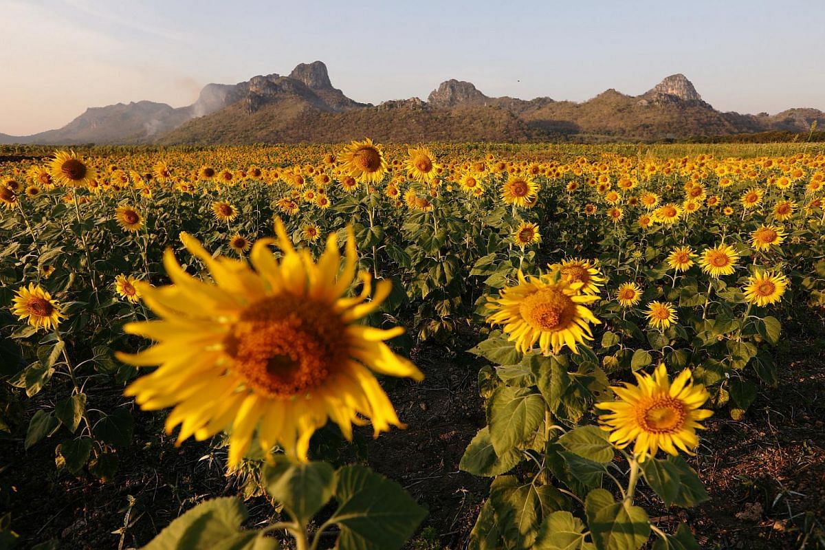A sunflower field is seen in Lopburi province, Thailand, on Dec 18, 2018.