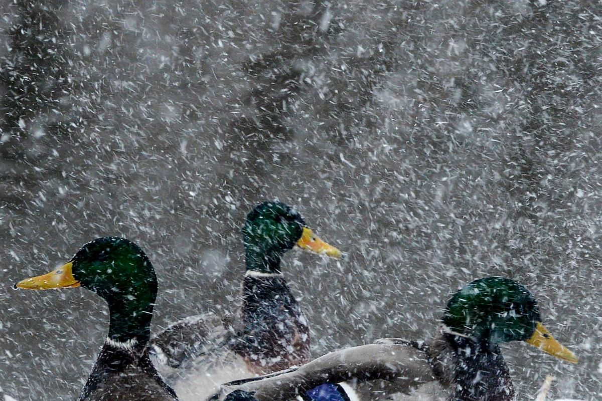 Ducks gather on the bank of the Yauza river during snowfall in Moscow, Russia, on Dec 19, 2018.