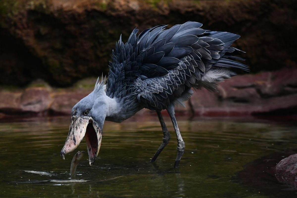 A Shoebill (Balaeniceps rex) at Jurong Bird Park's Wetlands exhibit on July 12, 2018. With the arrival of the pair from Qatar, Jurong Bird Park is the only zoological institution in South-east Asia where visitors will be able to view the iconic speci