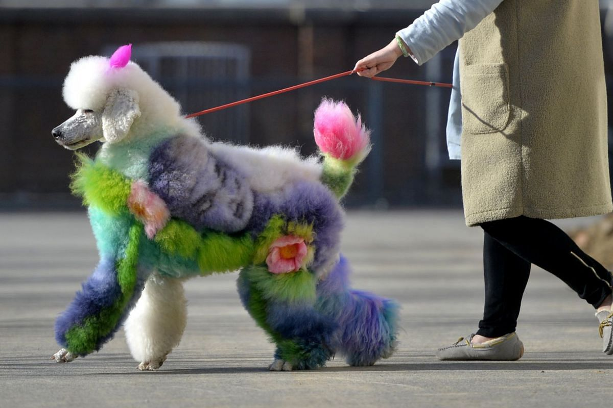 A photo released on January 2, 2019 shows a woman walking a dog with styled and dyed fur on a street in Shenyang, Liaoning province, China December 25, 2018. PHOTO: REUTERS