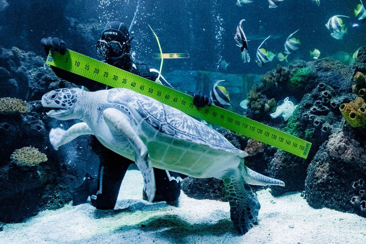"""Diver Oliver Volz measures sea turtle """"Speedy"""" during an annual stock take at the aquarium of the SeaLife in Timmendorfer Strand, northern Germany, on January 3, 2019. PHOTO: DPA VIA AFP"""
