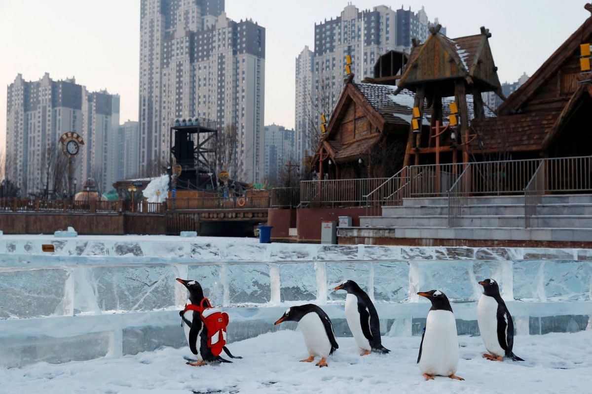 A gentoo penguin is seen during a promotional event during an annual ice festival in the northern city of Harbin, Heilongjiang province, China January 6, 2019. PHOTO: REUTERS