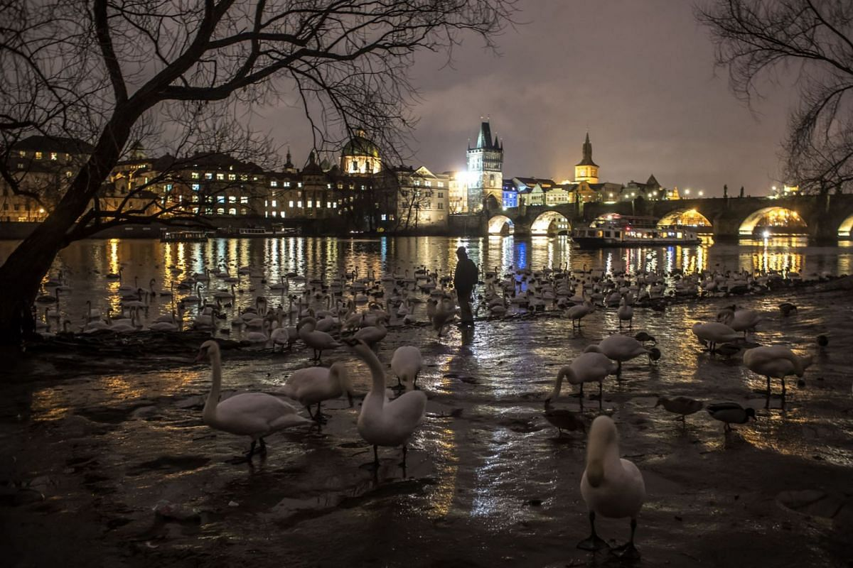 A man stands on the bank of Vltava river surrounded by swans at dusk in Prague, Czech Republic, January 9, 2019. PHOTO: EPA-EFE