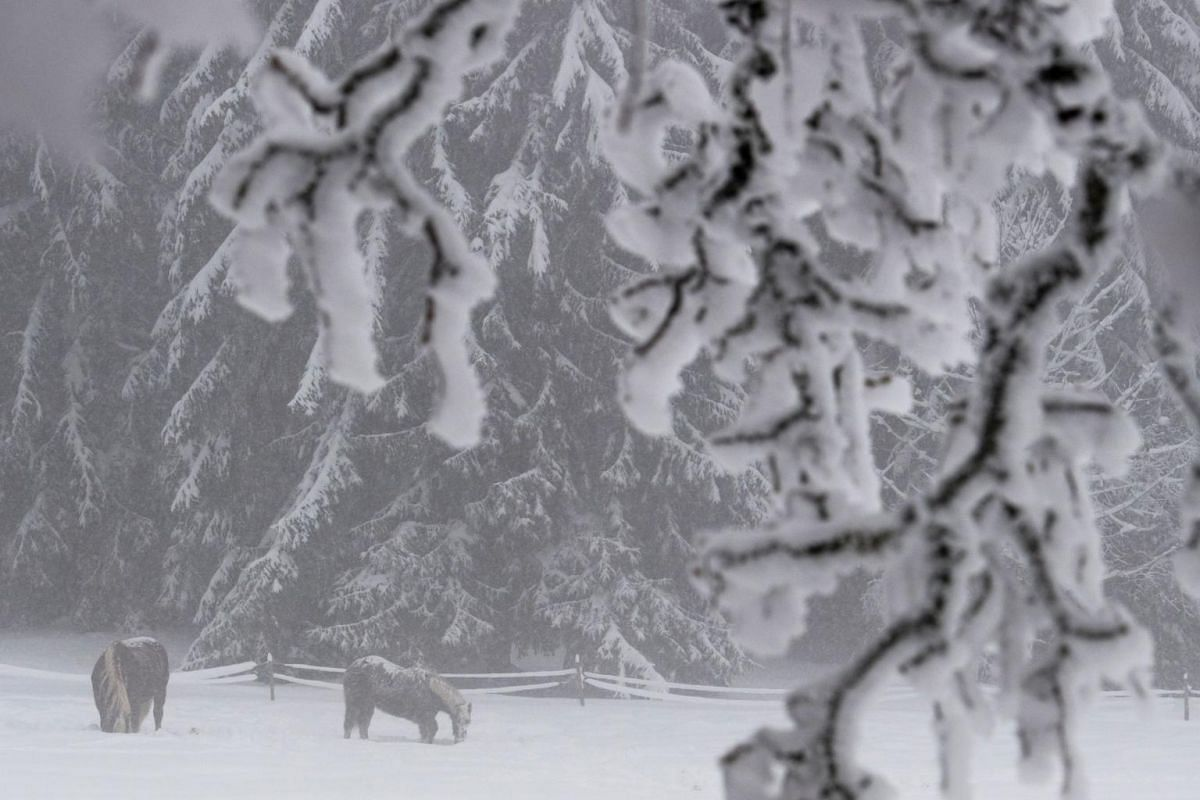 Two horses stand in the snow in Sankt Maergen, southern Germany.
