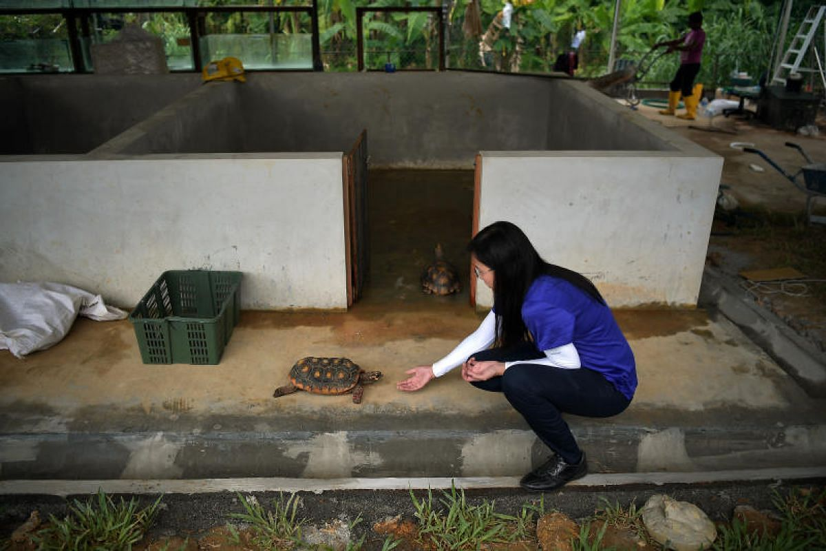 Connie Tan, 48, the owner of The Live Turtle and Tortoise Museum, makes sure a two red-footed tortoise feels comfortable in its new enclosure at Orto.