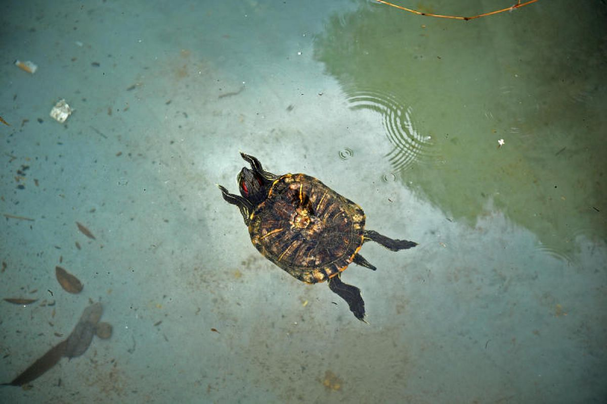 A Red-ear slider terrapin making itself right at home, swimming in its new enclosure at Orto.