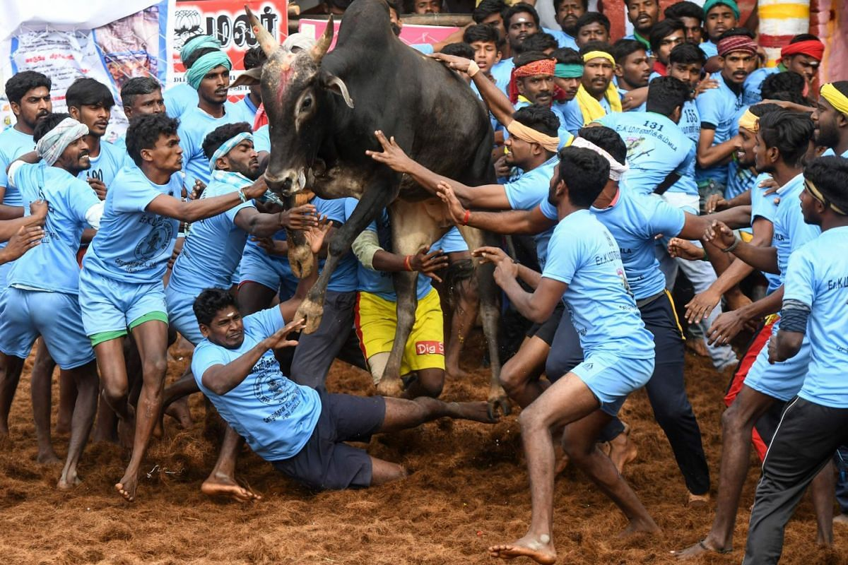 Indian participants try to control a bull at the annual bull taming event 'Jallikattu' in Palamedu village on the outskirts of Madurai in the southern state of Tamil Nadu on Jan 16, 2019.  Dozens of young men were injured on the first day of a tradit