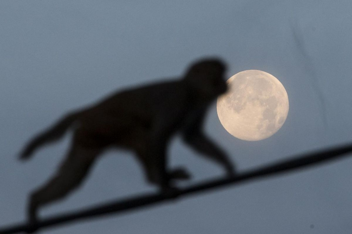 A monkey walks on a cable as the moon sets in the background in Kathmandu, Nepal, on Jan 22, 2019.