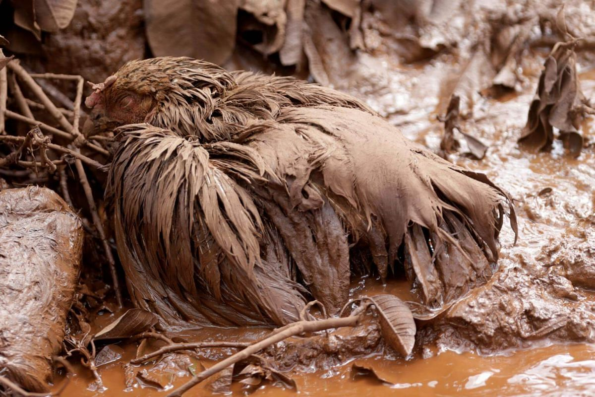 A chicken covered with mud is seen after a dam burst in Brumadinho, on Jan 26, 2019.