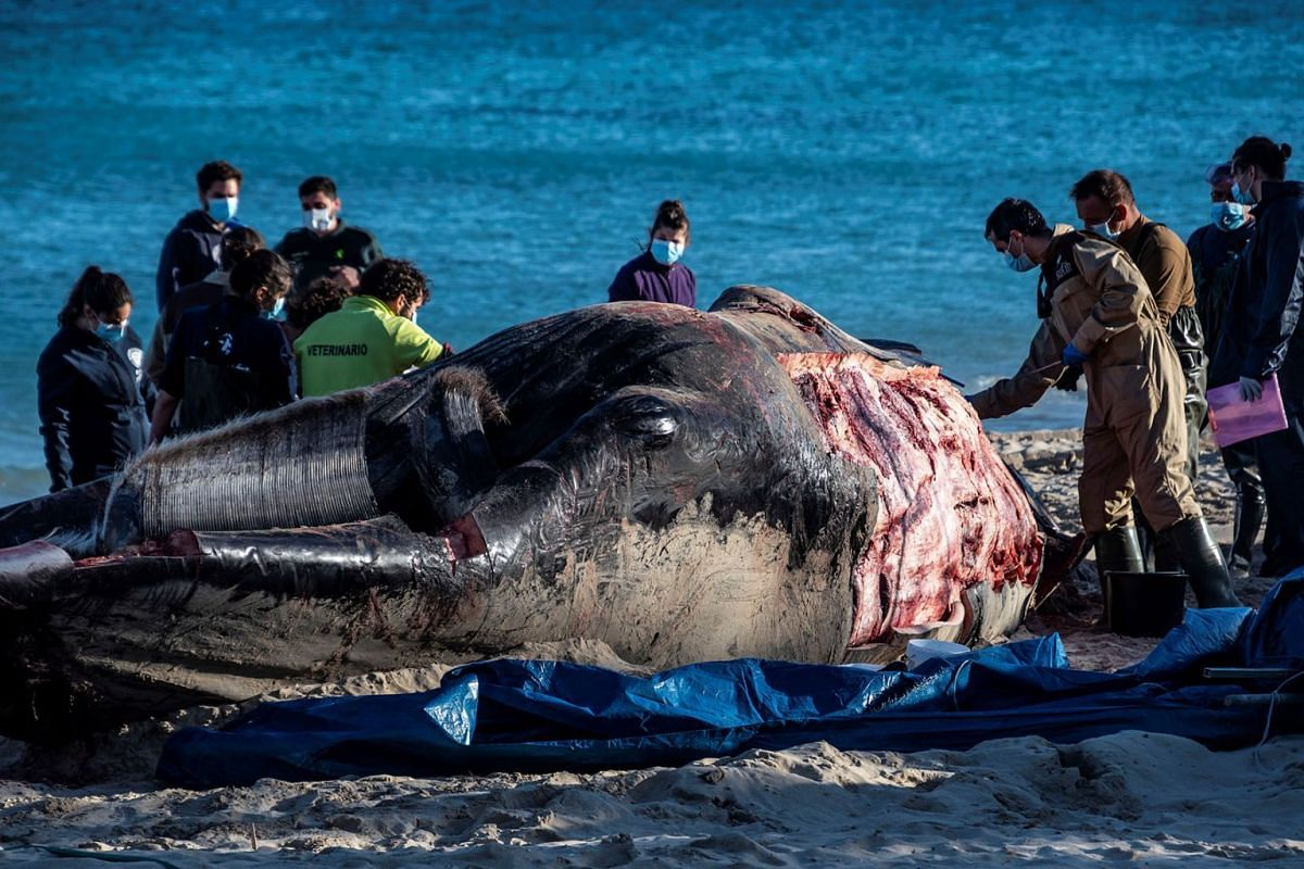 A veterinary team performs a necropsy on a of 15 meter long and ten tons heavy fin whale common in Mallorca who died at Cala Millor beach in Mallorca, Balearic Island, Spain, 28 January 2019. PHOTO: EPA-EFE