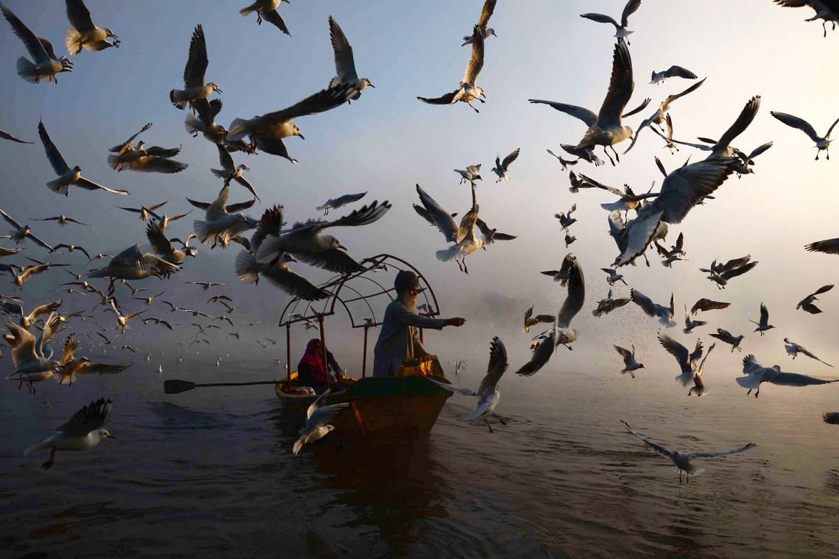 An Indian man feeds migratory seagulls at Narmada River early in the morning in Jabalpur in the Indian state of Madhya Pradesh on January 29, 2019. PHOTO: AFP