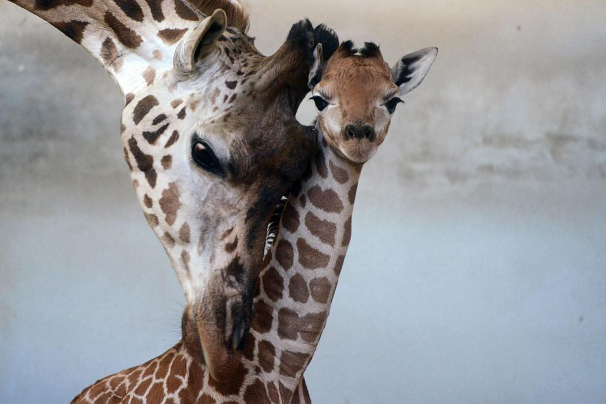 Five-day-old baby Rotschild giraffe is seen with her mother at the zoo in Prague, on January 29, 2019. PHOTO: AFP