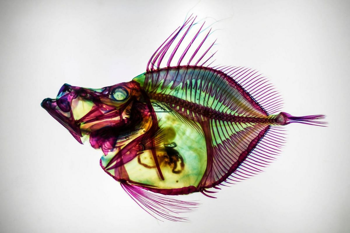 A discoloured Zenopsis Nebulosa or Mirror Dory, with muscles digested by enzymes and their bones and cartilages coloured by chemicals, is displayed at the Transparent Fish Exhibition at Aquaria KLCC in Kuala Lumpur on Jan 30, 2019. PHOTO: AFP