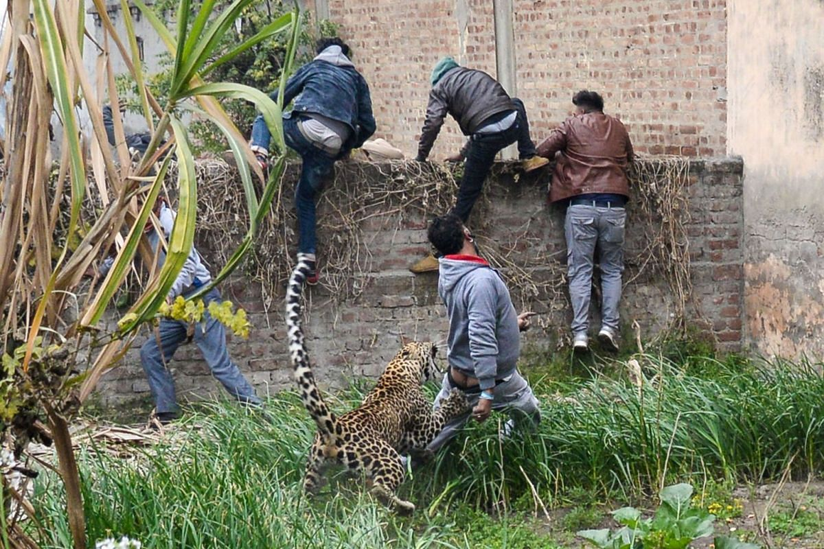 A leopard attacks an Indian man as others climb a wall to get away from the animal in Lamba Pind area in Jalandhar on January 31, 2019. PHOTO: AFP