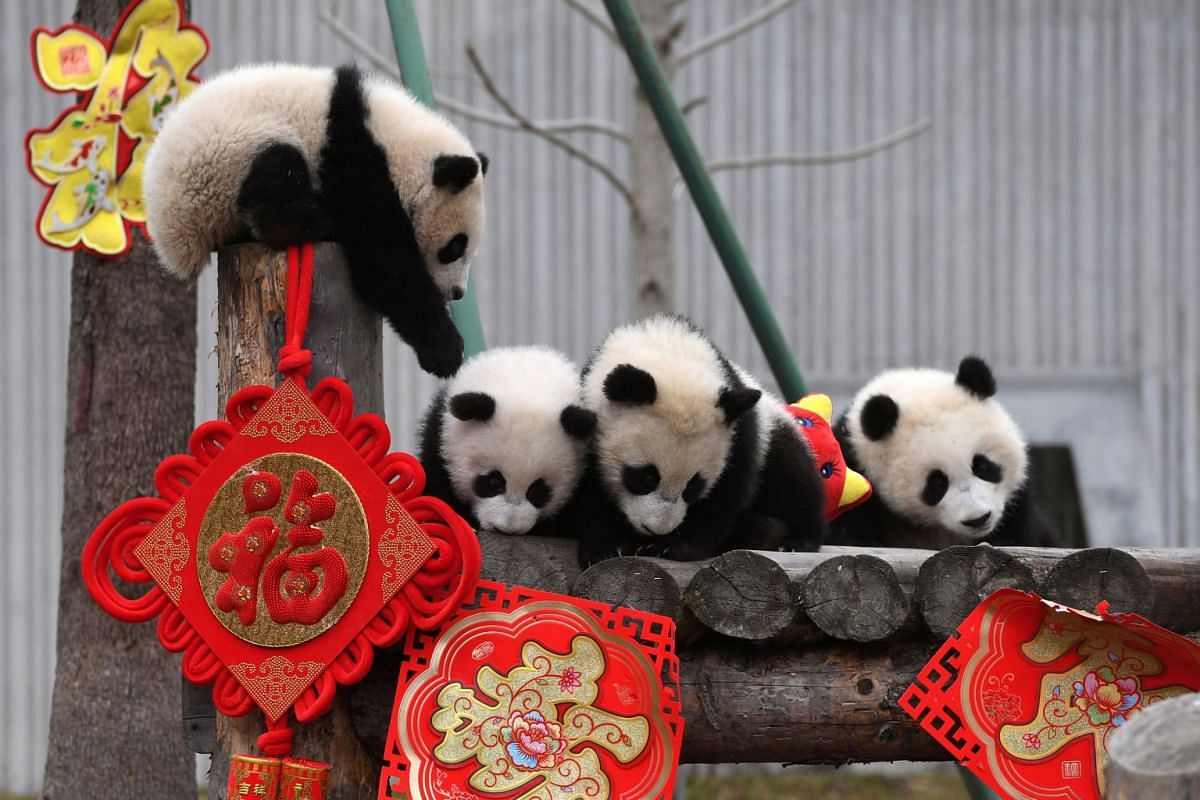 Giant panda cubs play together surrounded by decorations during an event to celebrate Chinese Lunar New Year of Pig, at Shenshuping panda base in Wolong, Sichuan province, China January 31, 2019. PHOTO: CHINA DAILY VIA REUTERS