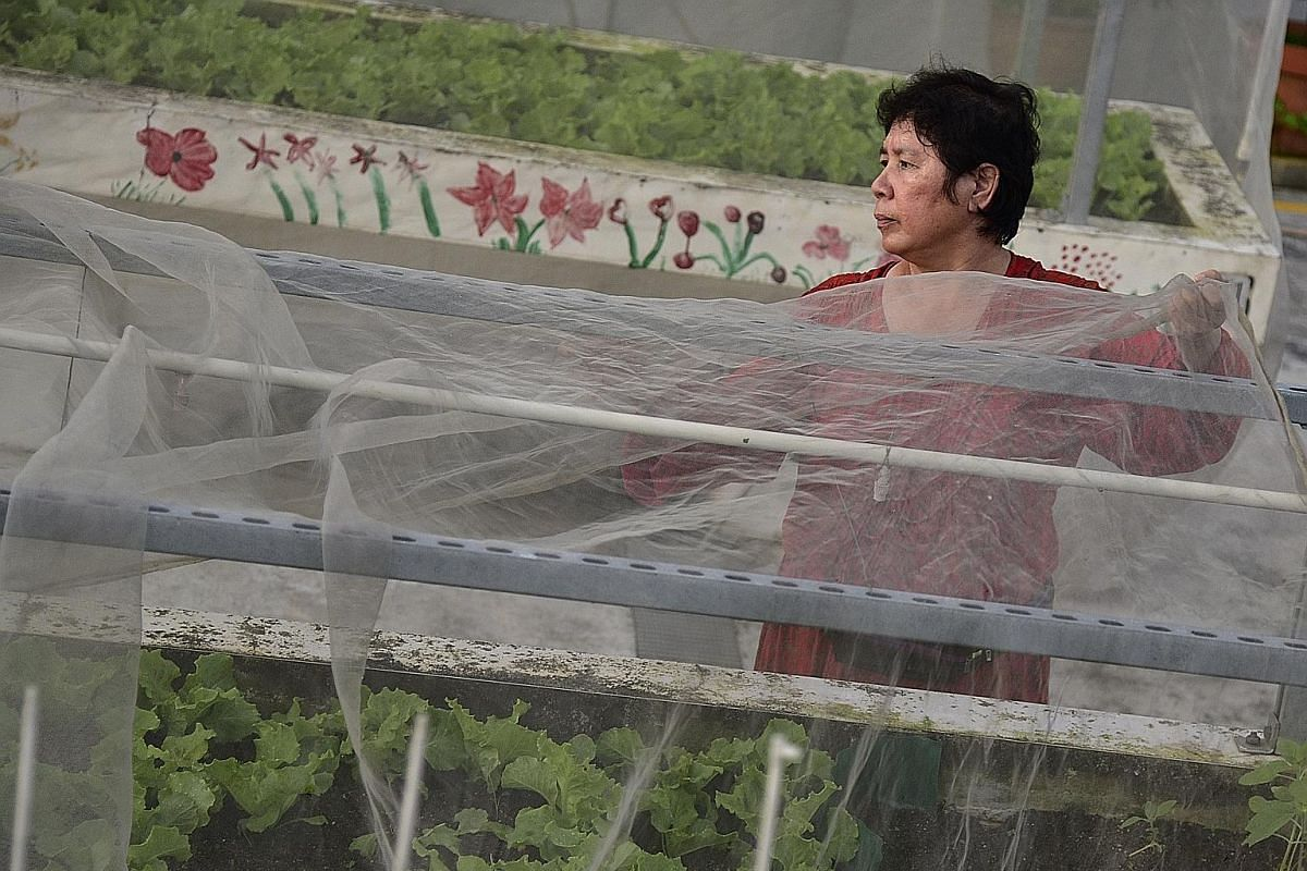 Madam Lau Suan, 66, watering lettuce at the Sky Garden @ Jurong Central. The garden was started in 2002 but had to make way for a multi-storey carpark. The garden reopened in 2012 and sits atop the carpark. (From left) Madam Ong Bock Hoe, Madam Kamis