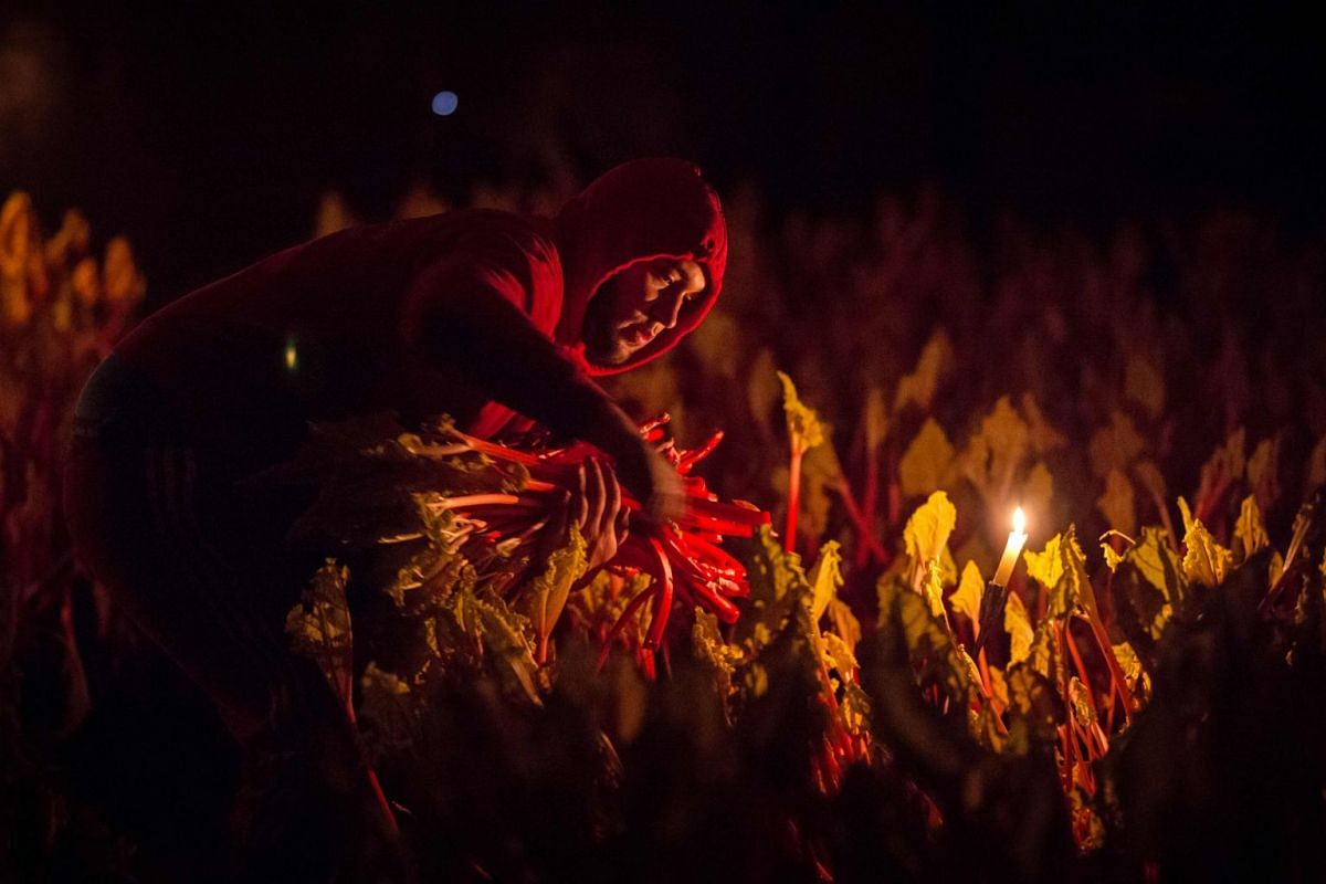 Farm worker Marek Vojteck harvests forced rhubarb by candlelight on Robert Tomlinson's farm in Pudsey, near Leeds in northern England on February 12, 2019. PHOTO: AFP